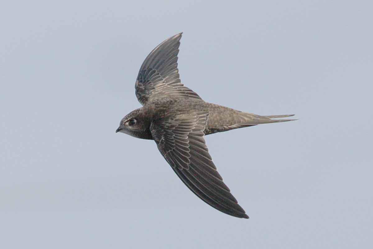 Single swift against grey sky