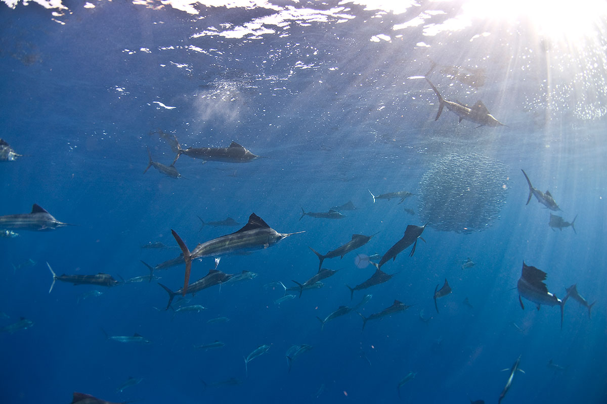 Sailfish circle the school and break a small section off