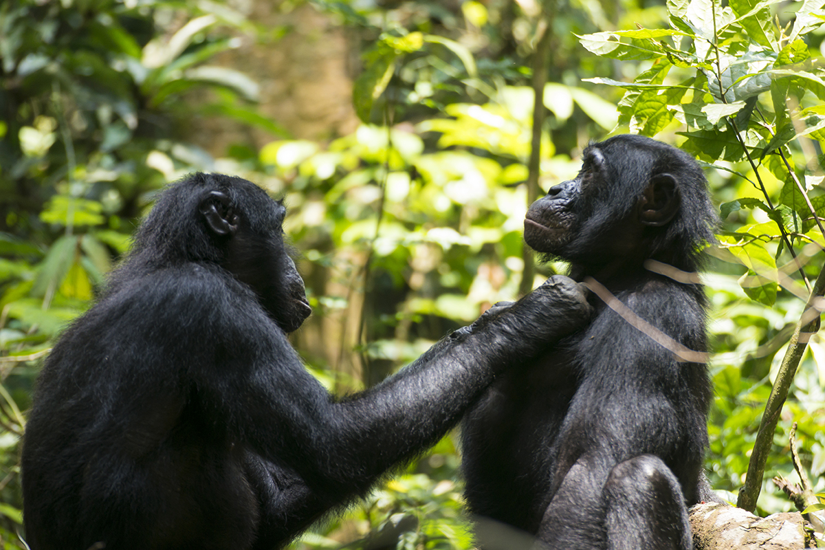 Older, long-sighted bonobos groom at arm's length