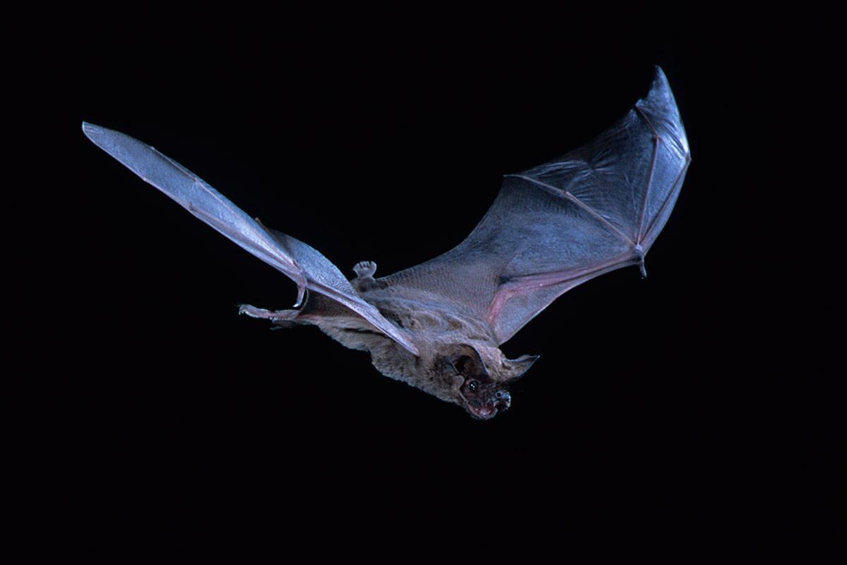 speedy bat flies at 160km h smashing bird speed record new