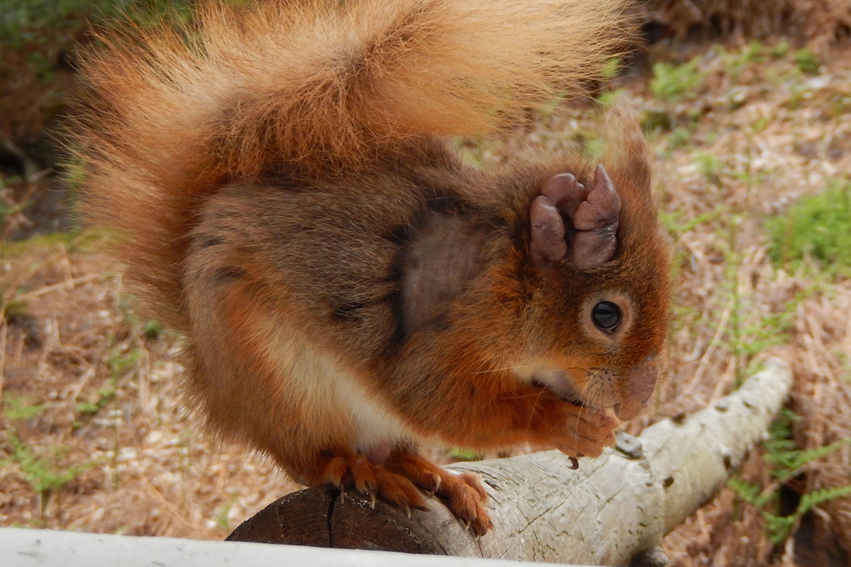 Red squirrel with signs of leprosy on its ears