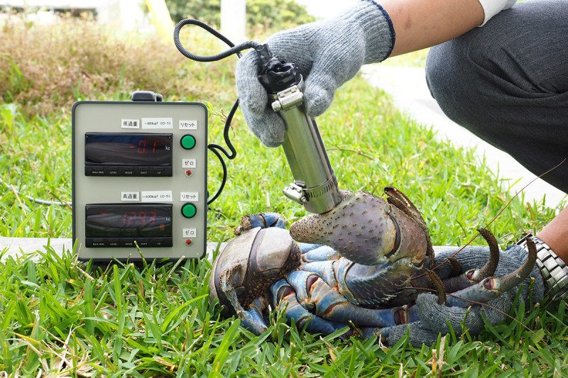 A researcher holds a force probe, which a large crab is grasping in its claw