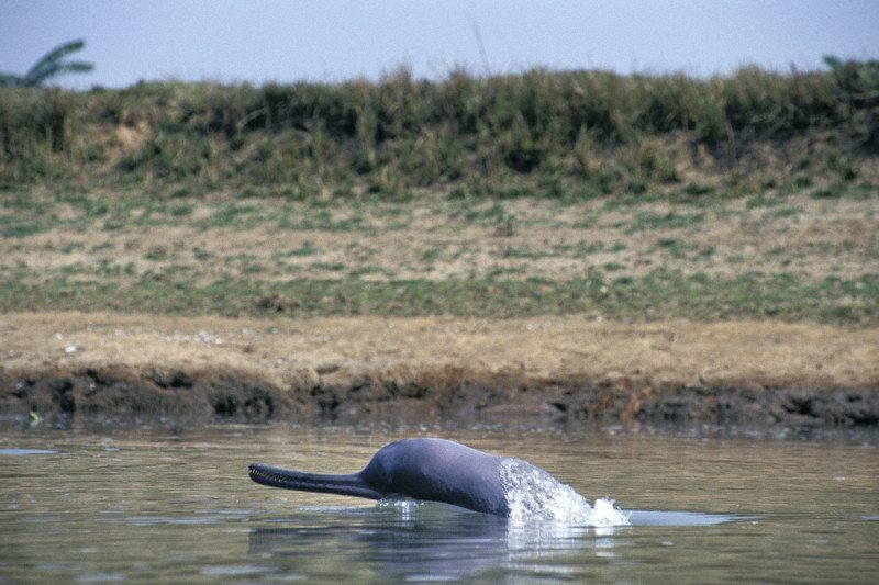 Platanista gangetica gangetica river dolphin