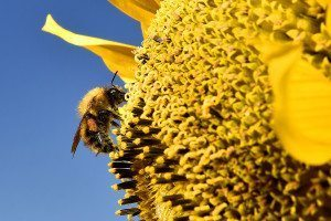 Three quarters of our crops depend on pollinators