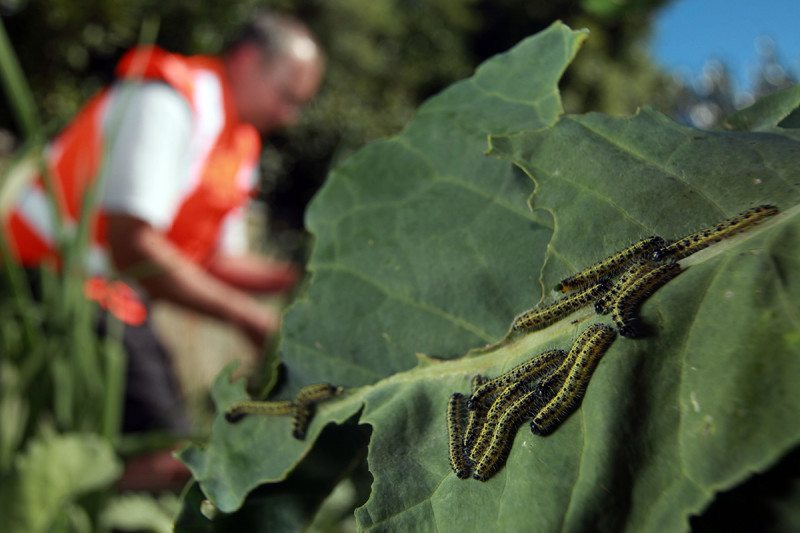 Caterpillars on a leaf in the foreground, with Richard Toft in the background wearing an orange high-vis jacket