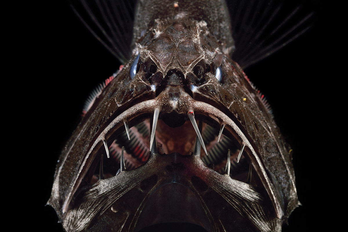 up close with the giant teeth of the deep