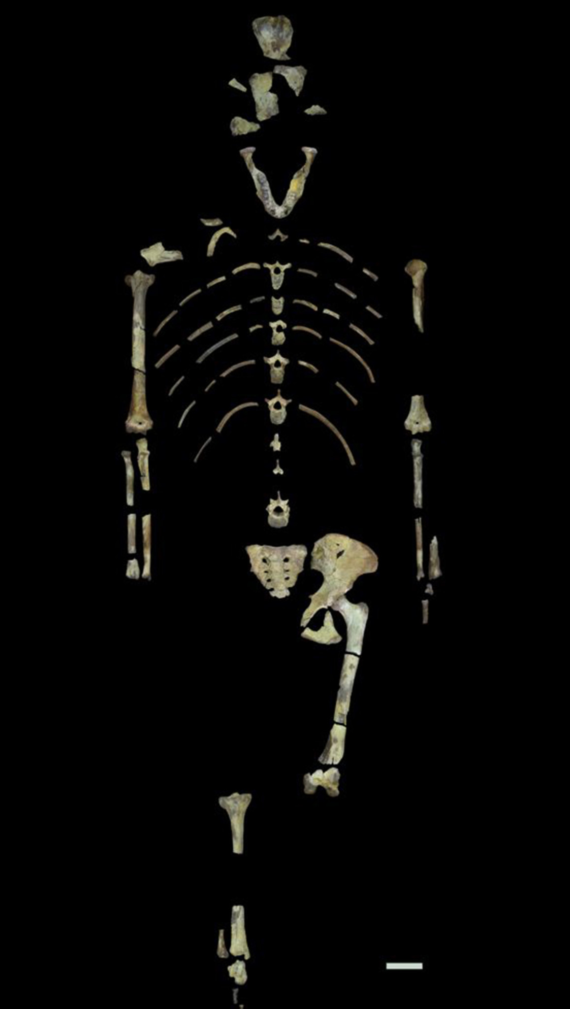 Skeleton of Lucy