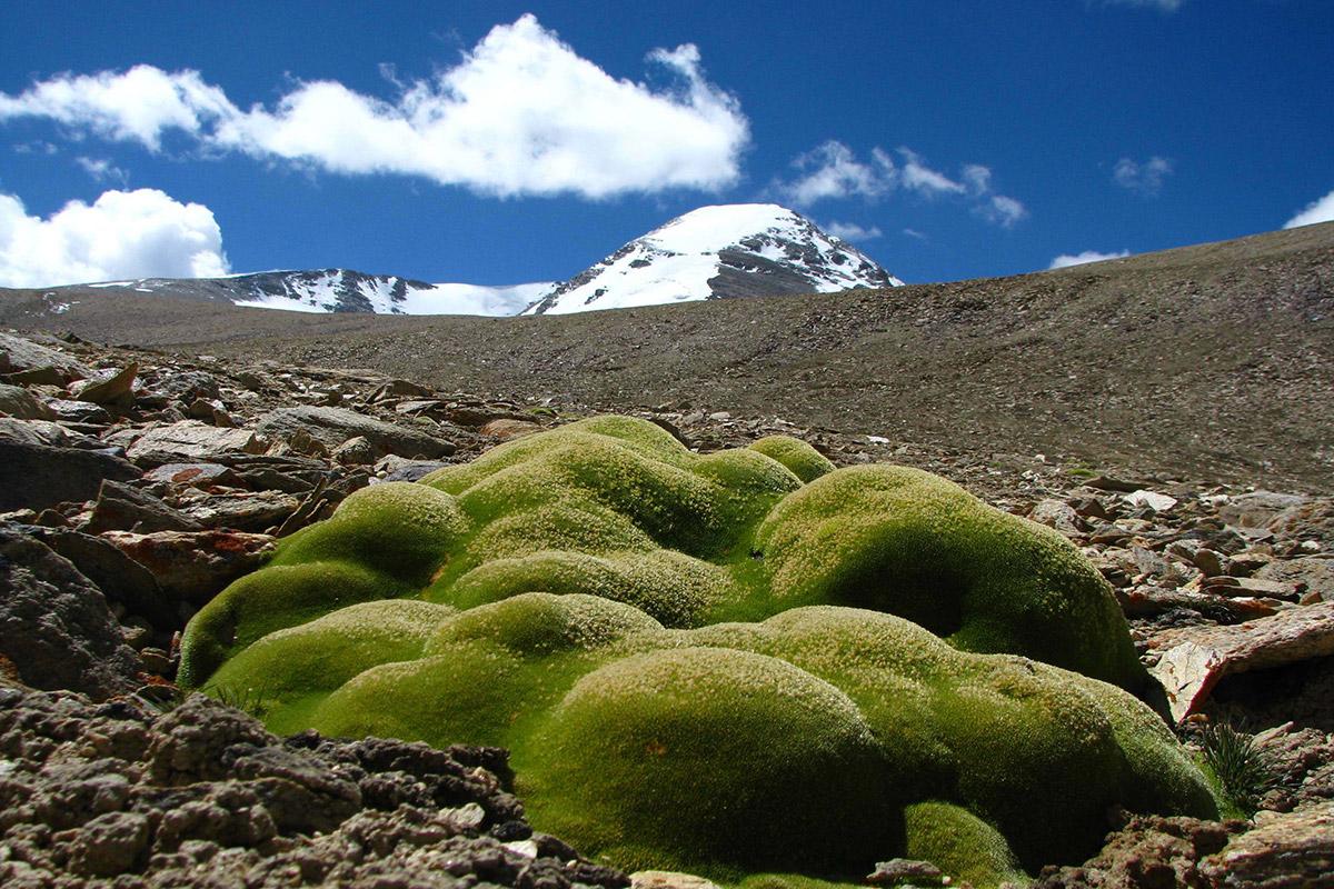 Himalayan plants