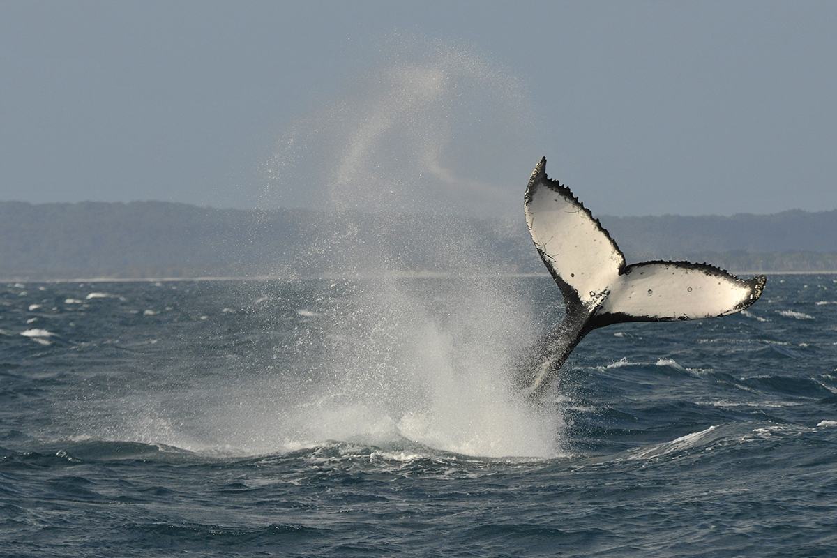 whales talk to each other by slapping out messages on water new