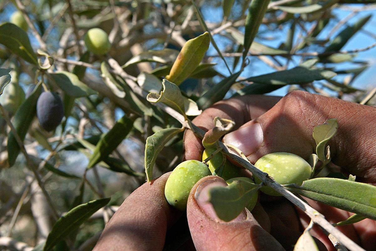 Les doigts saisissent les olives sur la branche