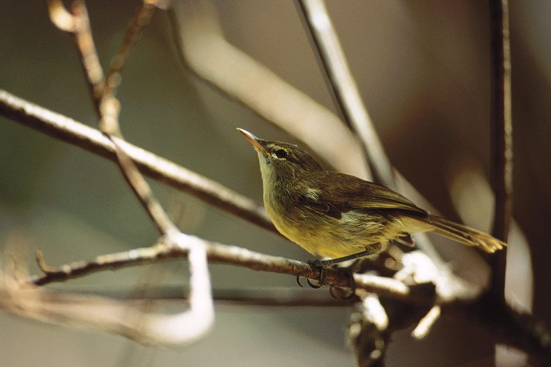 Seychelles warbler singing in a tree