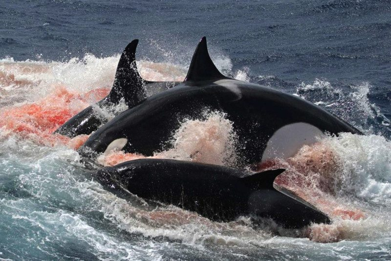 Rare case of orcas hunting whales