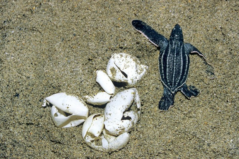 A newly hatches leatherback turtle beside some broken eggs