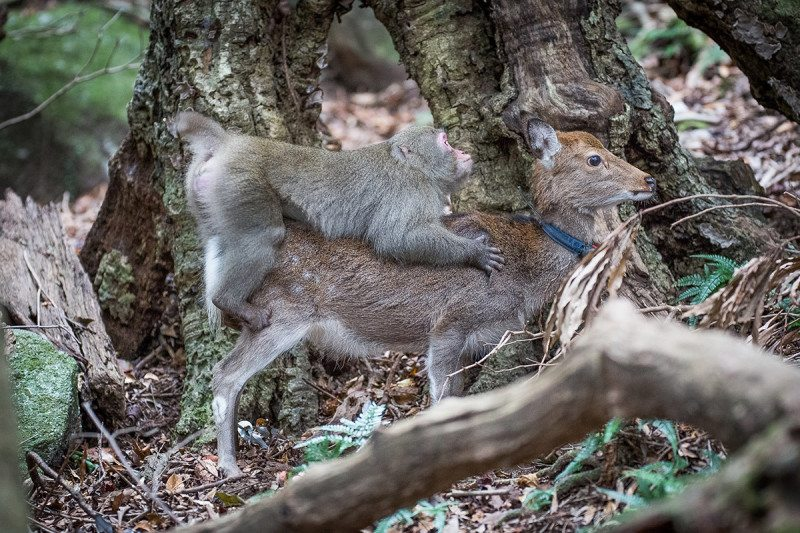 Japan: Scientists record monkey trying to have sex with a deer