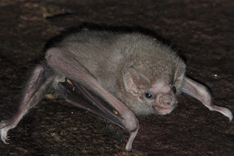 A hairy-legged vampire bat (Diphylla ecaudata)