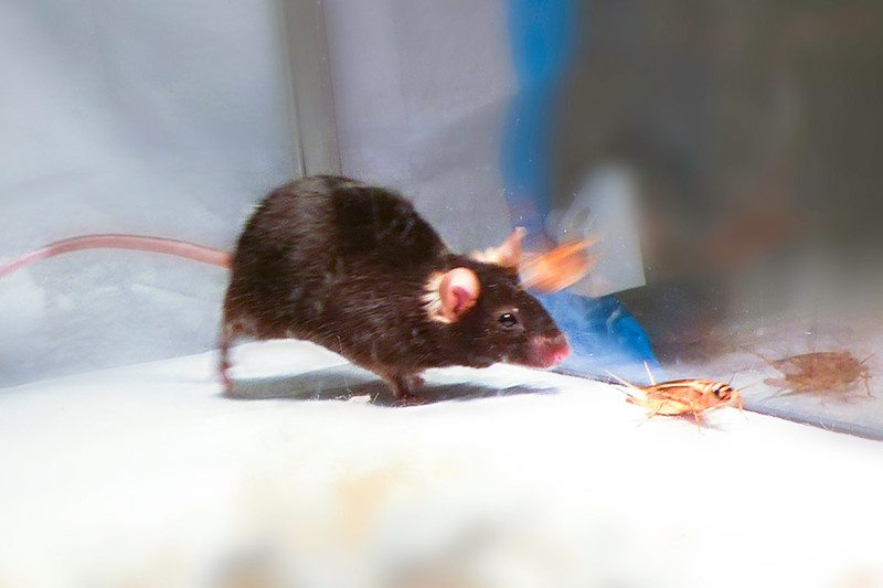 Image result for Scientists use light to trigger the killer instinct in mice