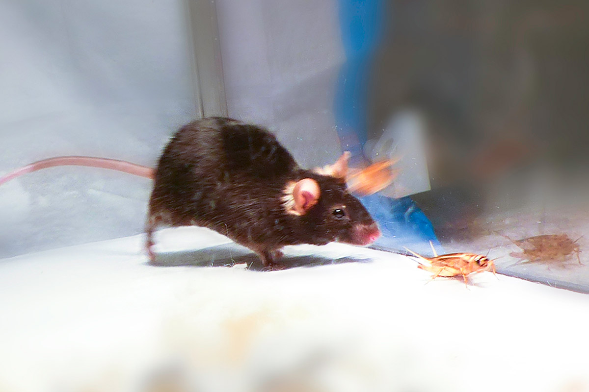 Mice turn into killers when brain circuit is triggered by laser