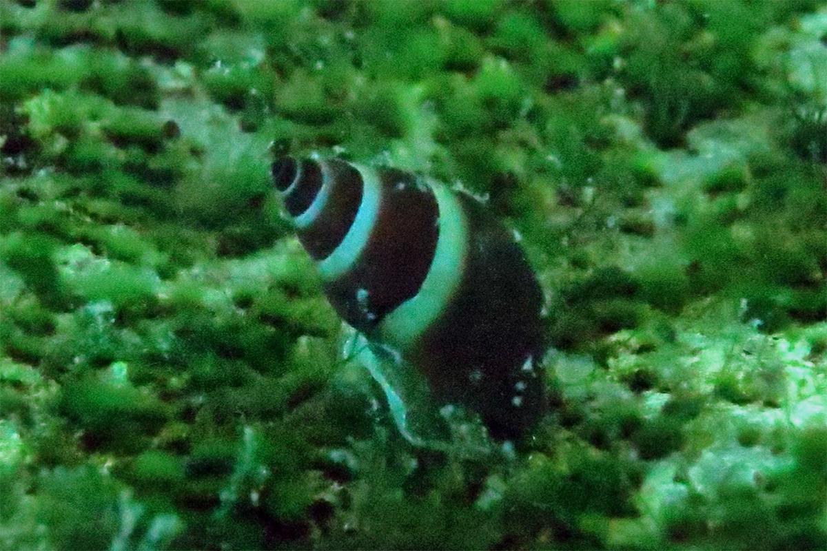 Water snail Reymondia horeii