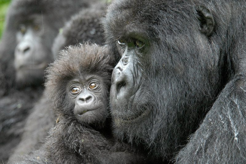 An adult gorilla holding a young gorilla