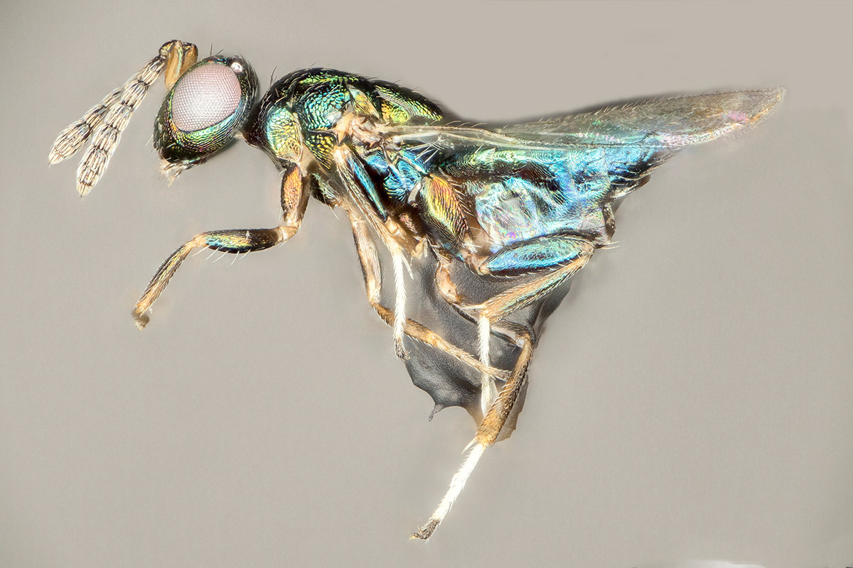 Crypt-keeper wasps named after the Egyptian God of evil and chaos