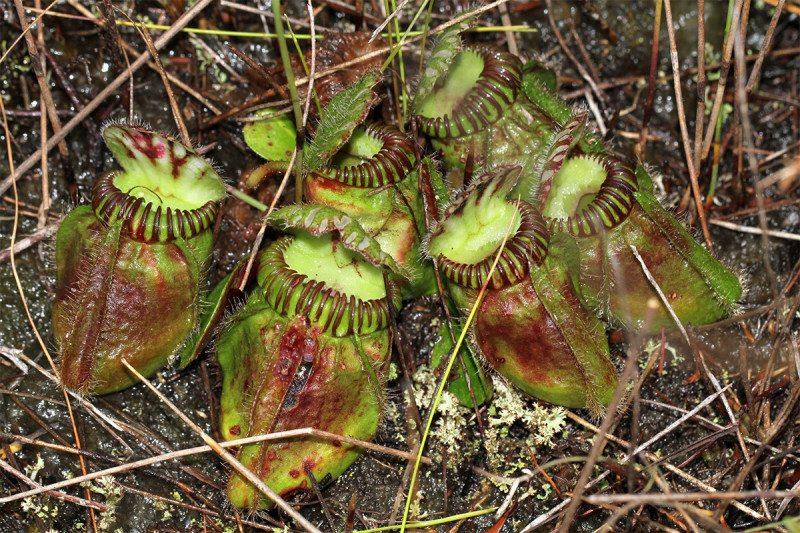 Les feuilles en forme de seau de plantes carnivores carnivores
