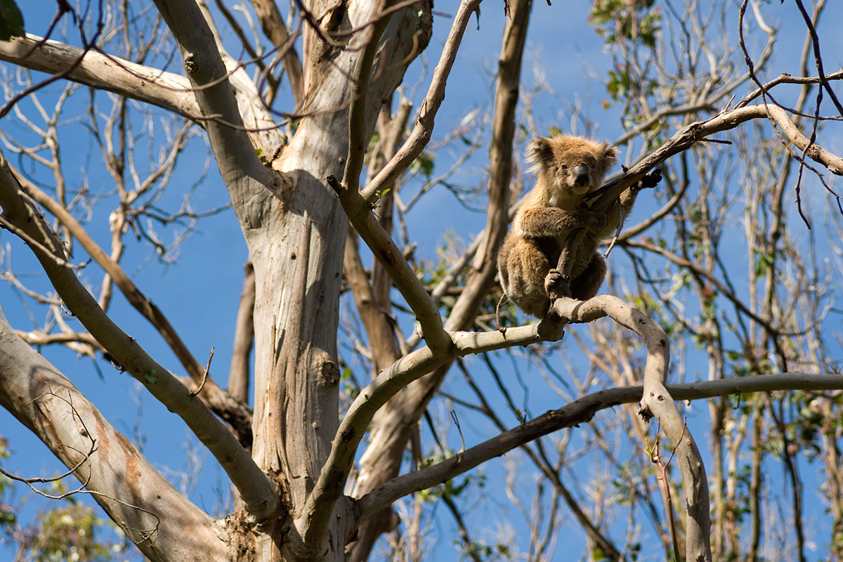Baby koalas are easy prey