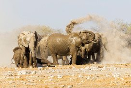 Dusty elephants, one apparently using trunk to cast earth over itself