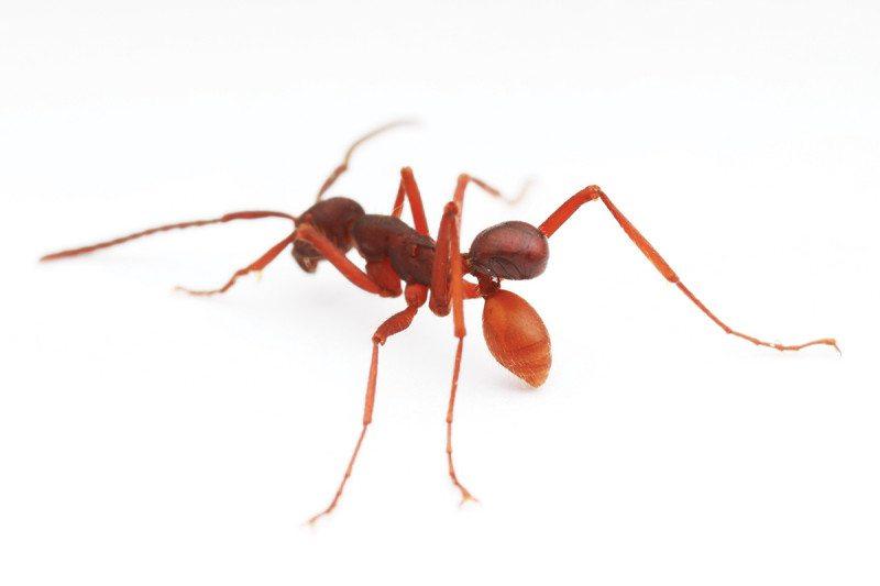 ant beetle