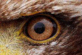 Close-up of an eagle's eye