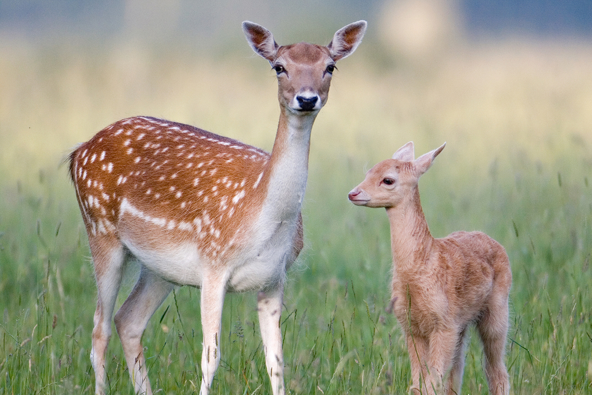 Mother deer and fawn