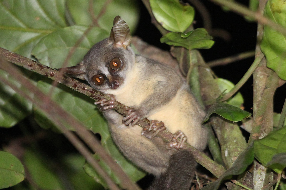 Bushbaby clinging to tree branch