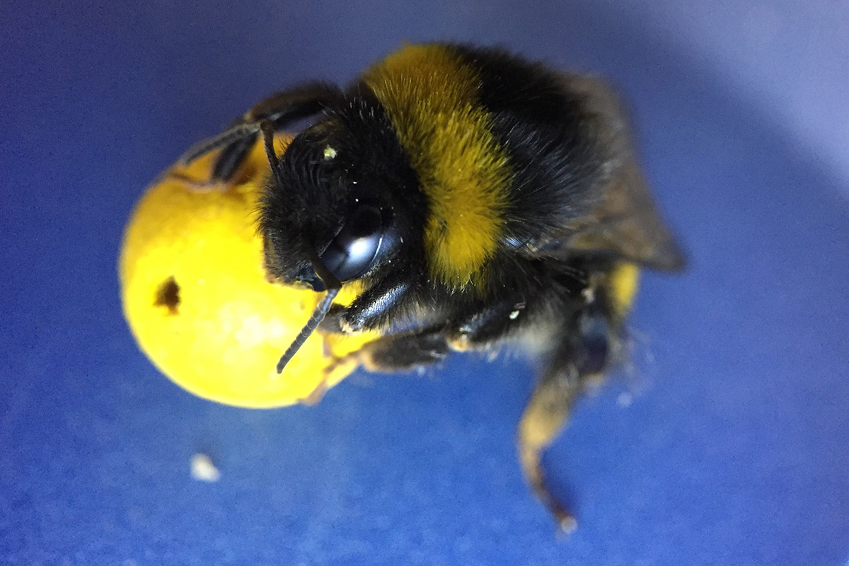 Tiny yet Intelligent, Bumblebees Score it with a