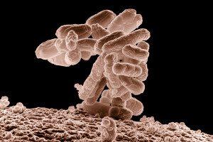 Escherichia coli baceria