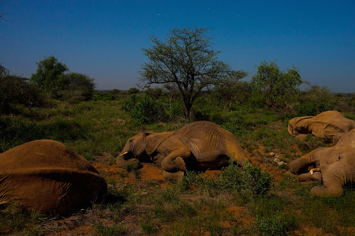 African elephants sleep shortest -- just 2 hours day
