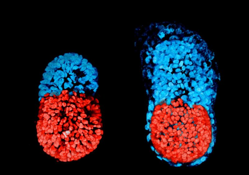 Artificial mouse embryo
