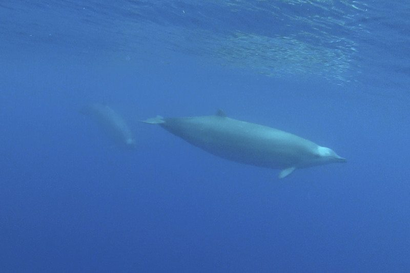 The first underwater footage of rare beaked whales