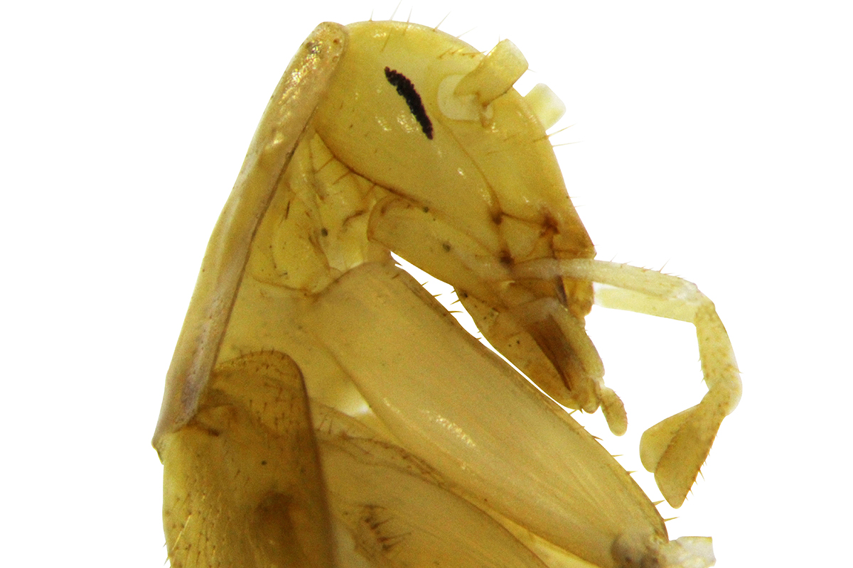Side view of the cockroach