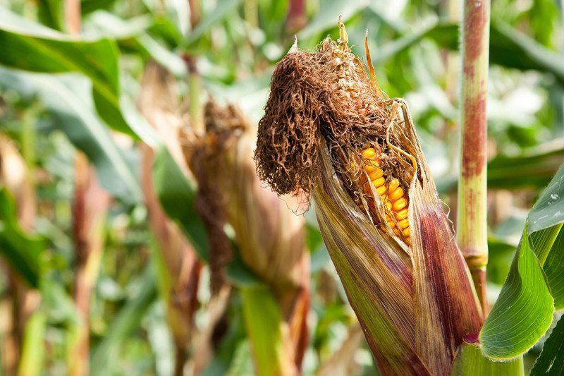 Infected maize