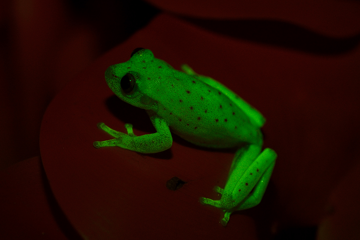 A frog that glows in the dark