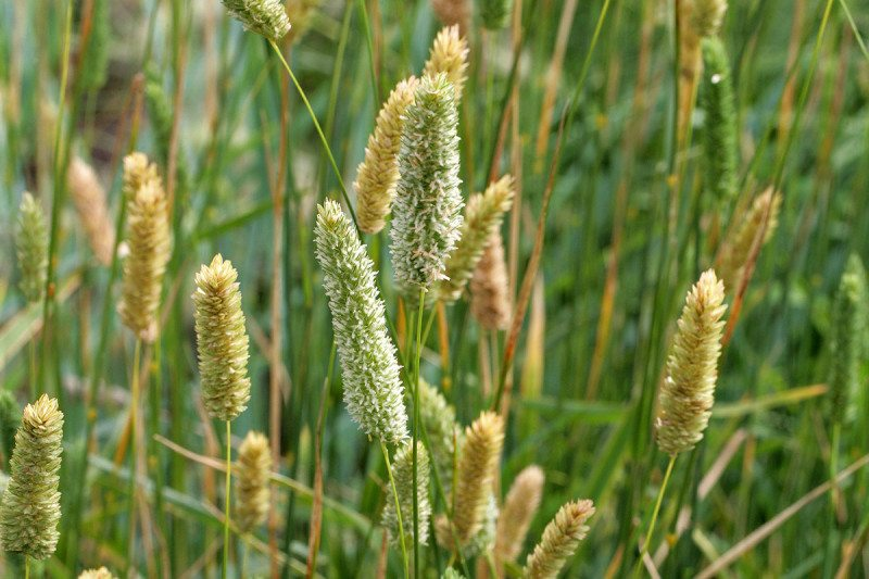 <em>Phalaris aquatica</em>, or Bulbous Canary Grass
