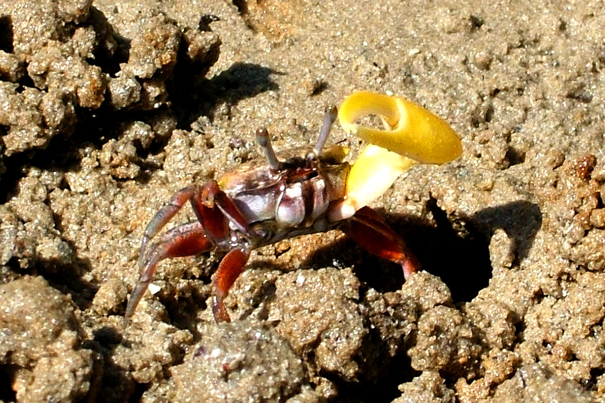 Claw drumming communicates the crab's size