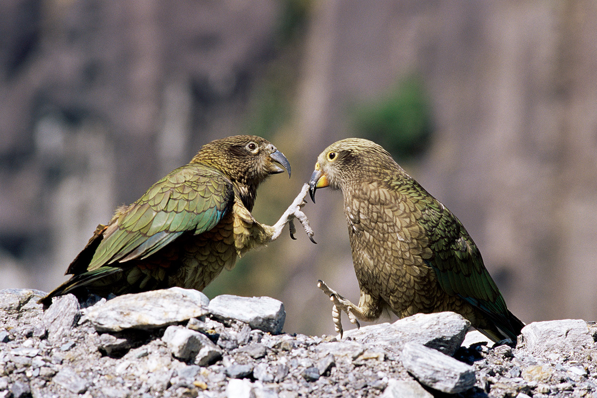 Parrot's infectious laughter puts nearby birds in playful mood