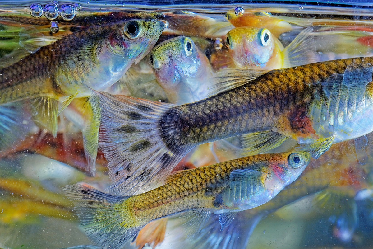Female fish with bigger brains choose better mates New Scientist