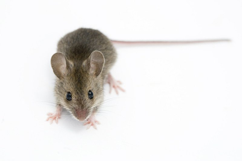Mice infested human settlements 15000 years ago, study finds