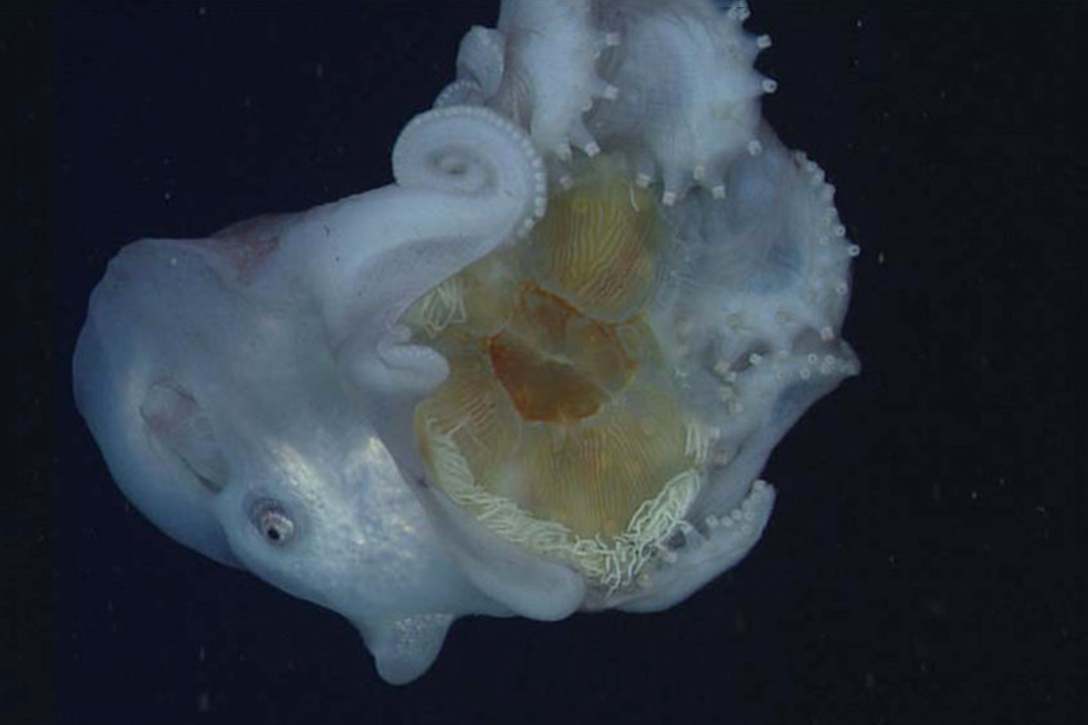 Giant deep sea jellyfish