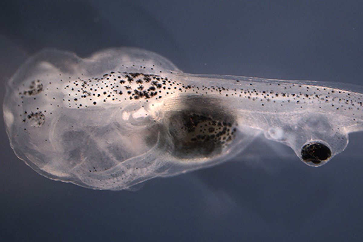 An extra eye implanted onto a tadpole's tail
