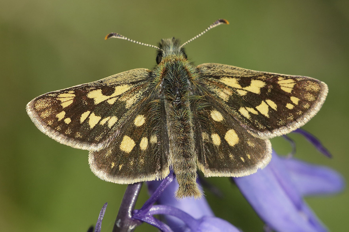 Chequered skipper butterfly is one of the 20 target species