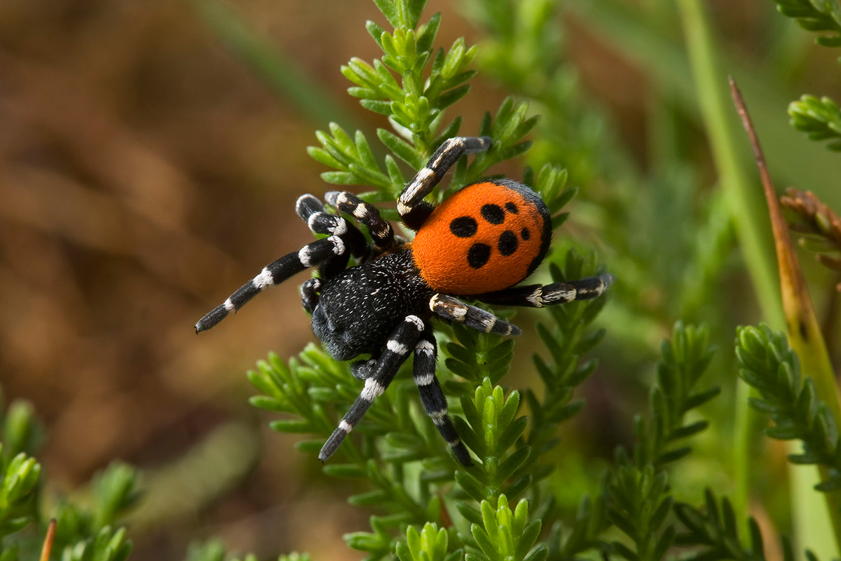 Ladybird spider is on the list of 20 species to save