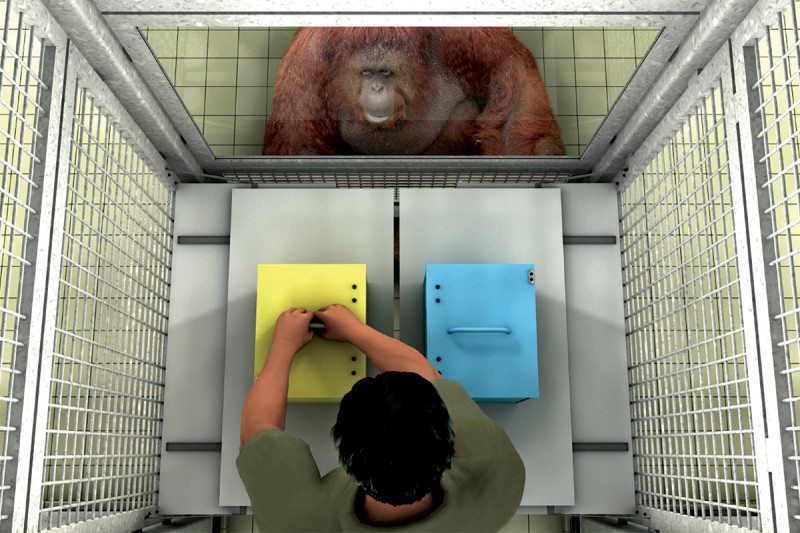 Orangutan watches man place something in a yellow box