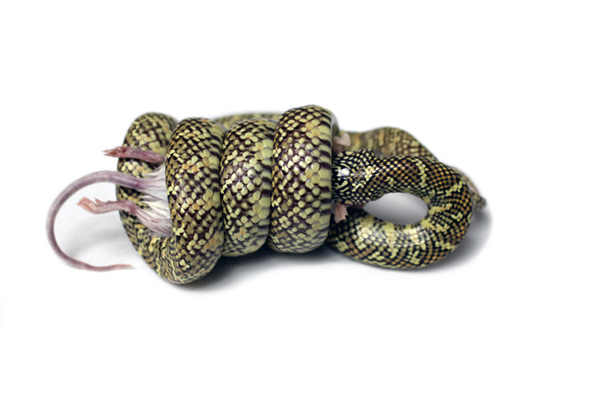 An eastern kingsnake constricting with a uniform coil